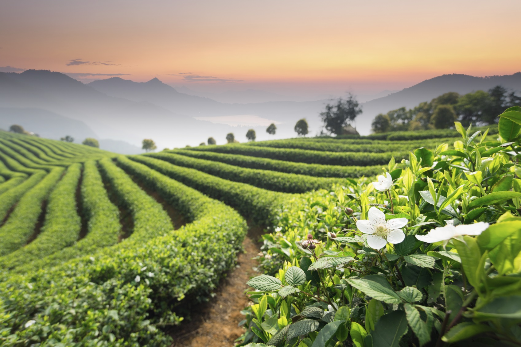 مزارع زیبایی چای