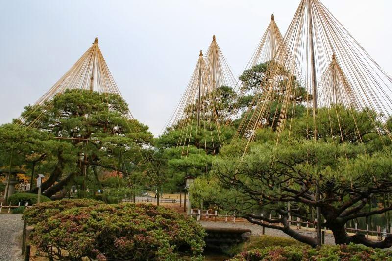 درختانی با کلاه های بزرگ در ژاپن