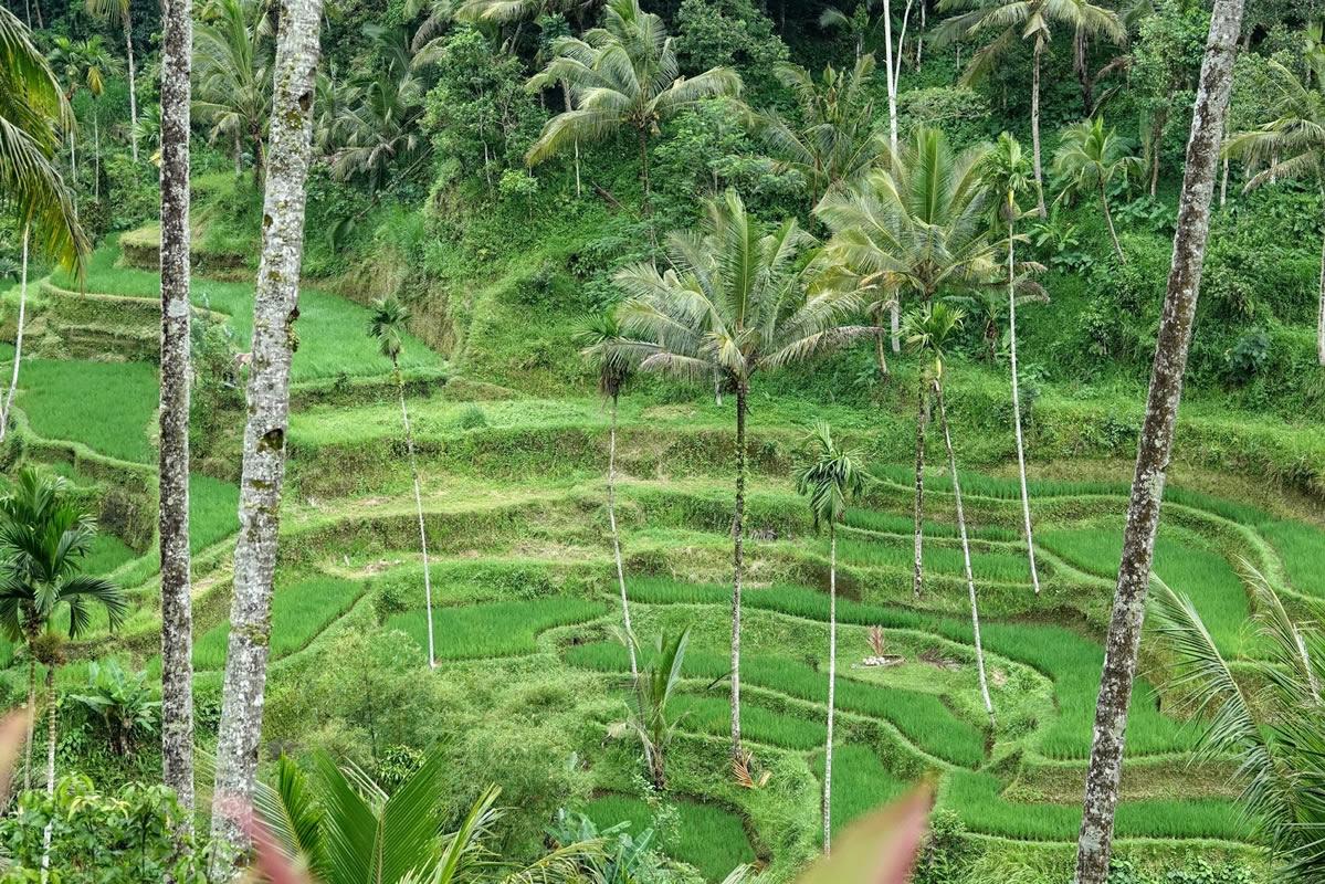مزارع پلکانی برنج تگالالنگ بالی