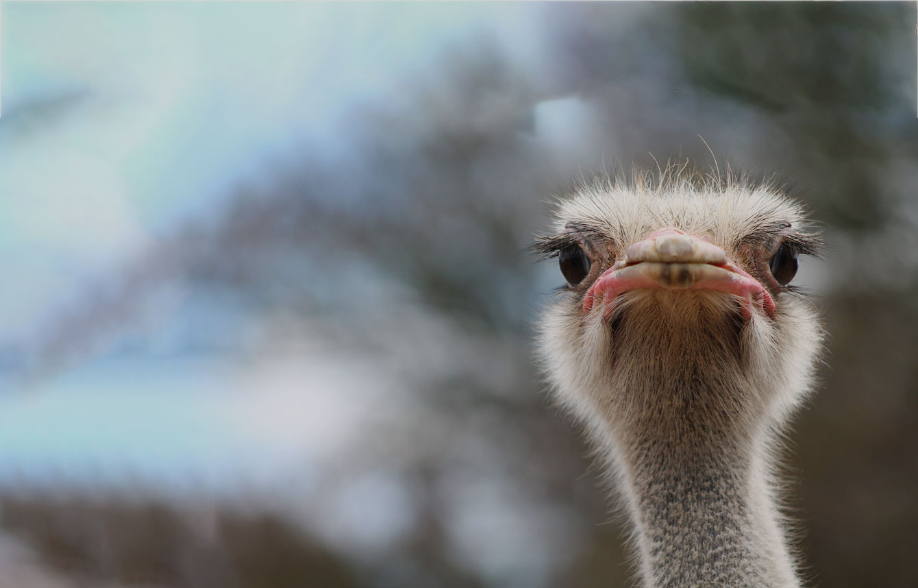 پایتخت شتر مرغ جهان