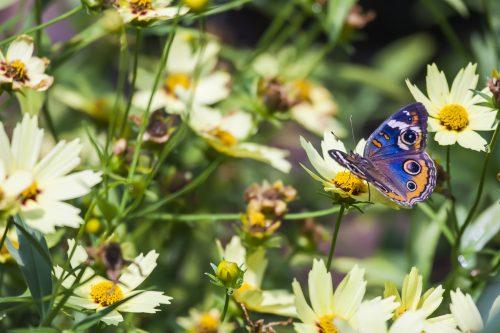 پروانه های کمیاب