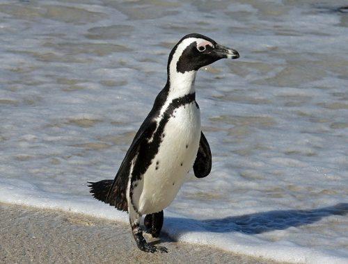 مشاهده پنگوئن آفریقایی