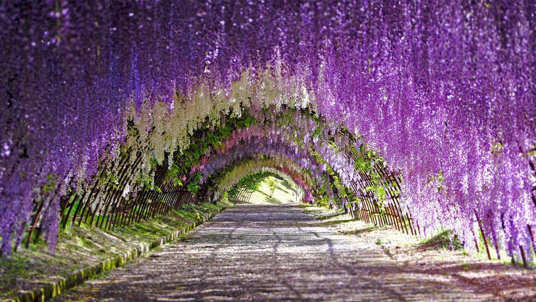 تونل گلهای ویستریا ژاپن