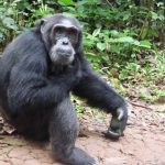 پناهگاه شامپانزه جزیره نگامبا