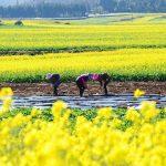 مزارع گل کانولا در چین
