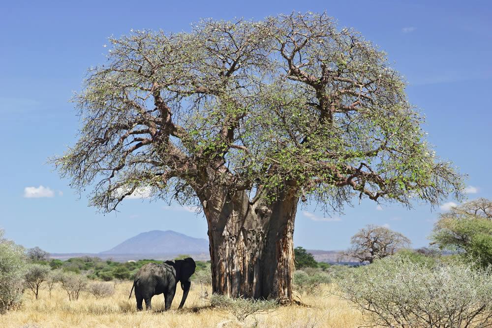 حتما یکبار درختان بائوباب را ببینید