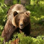 پناهگاه خرس براشوو