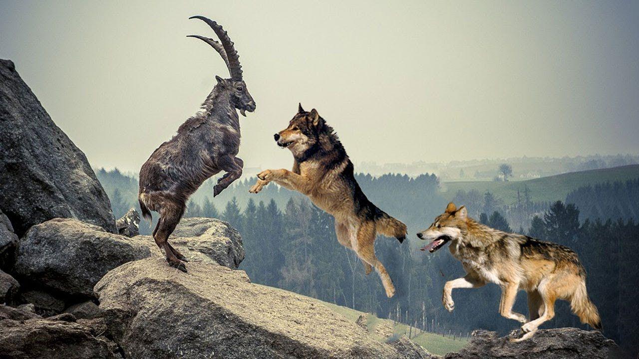 اگر گرگ به شما حمله کند