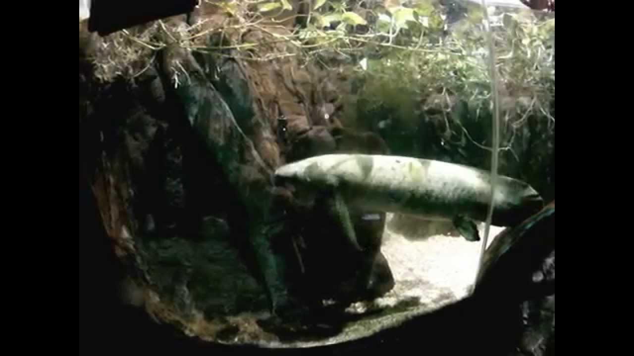 این نوع ماهی در خشکی زندگی میکند