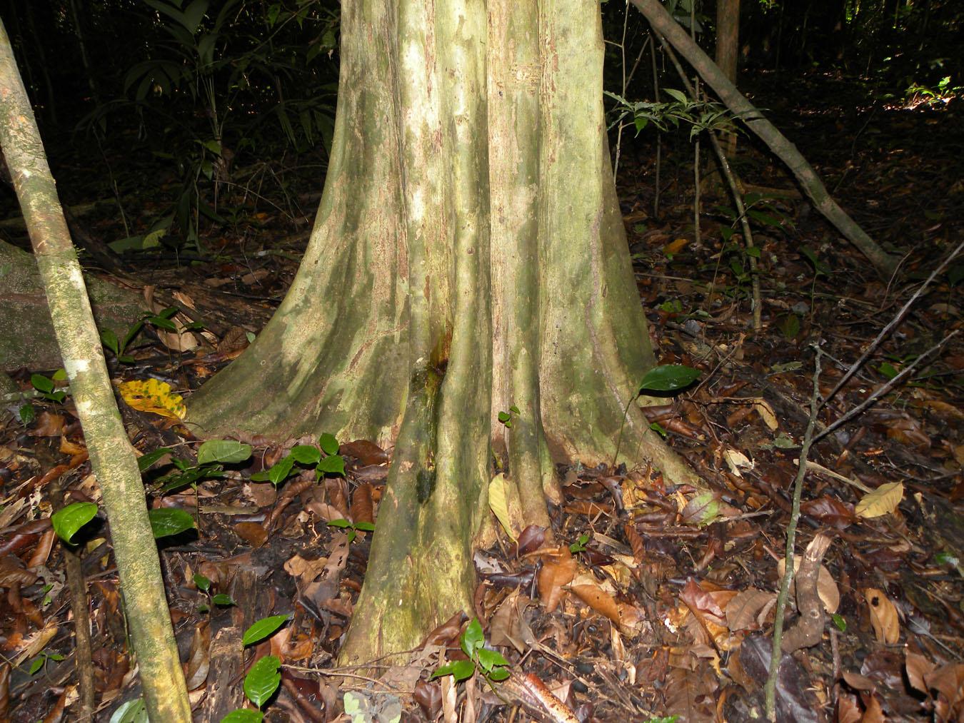 دره درختان مربعی در پاناما