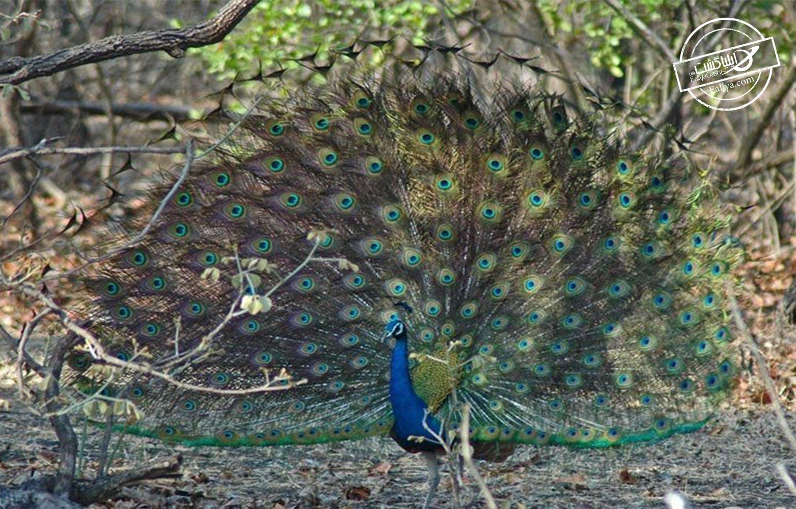 جزیره طاووس